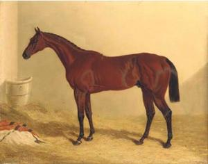 Bay Middleton, a bay racehorse in a loose box