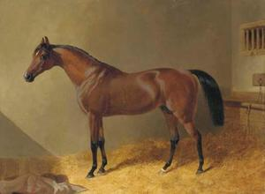 Pacelot, a bay stallion, in a stable