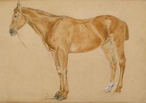 A chestnut horse with a docked tail
