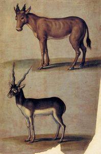 Red Hartebeest and Blackbuck