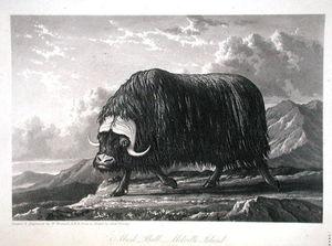Musk Bull, Melville Island