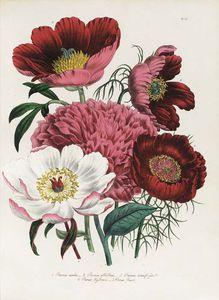The Ladies' Flower Garden - (9)