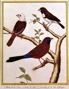 White-headed Munia, Double Coloured Seed Eater And Violet Eared Waxbill