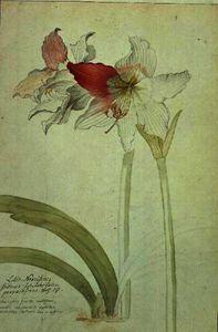 Lilio-Narcissus , Indicus