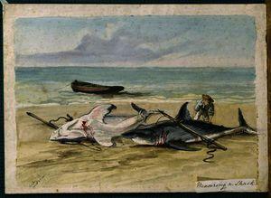 Man measuring two dead sharks on a beach