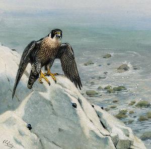 A peregrine falcon on a cliff