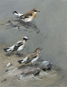 A petchora pipit, grey-headed wagtail and a black-headed wagtail; and black-eared wheatear