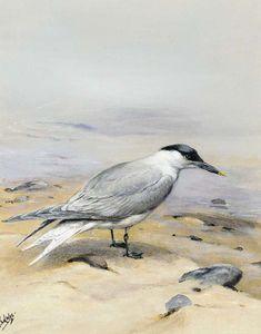 A sandwich tern on a beach
