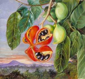 Laub und Frucht von Sterculia parviflora