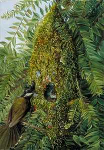 Nest of the Coachman's Whip Bird in a Bunya Bunya, Queensland