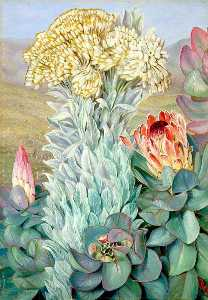 Giant Everlasting and Protea on the Hills near Port Elizabeth