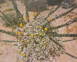 Kenda North - Untitled Daisy Bush Spiral, from the series Marks on the Landscape